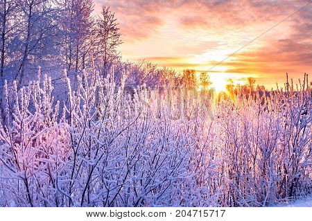 winter landscape with sunset and forest. trees winter covered with snow in rays of sunset. wintry snowy purple morning