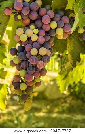 A vibrant photo of wine grapes hanging from a vine in a vineyard, just before the autumn harvest, slightly toned, selective focus and place for text