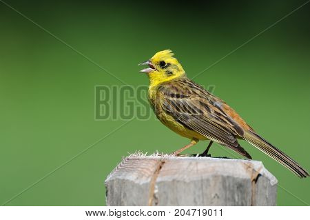 Yellowhammer sitting on a post and singing in front of a green background
