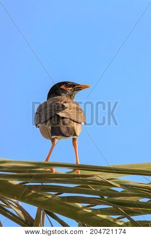 Portrait Of Mynah On Palm Tree