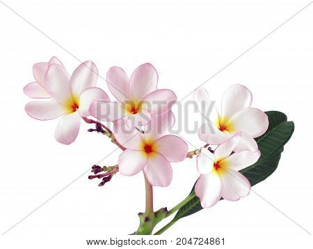 pink plumeria or frangipani flower isolated on white background, tropical flowers bloom summer