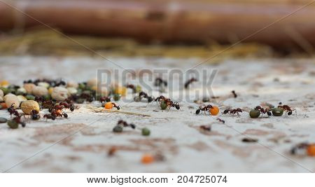 Ants dragging lentils, corn and mung beans from a stack