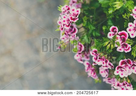 Violet pansy flower background. Bunch of bright purple blossom with green leaves, copy space