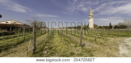 Vineyard on a venetian island, during spring