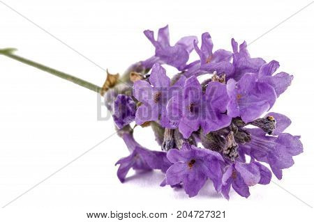 Flowers  Of Violet Lavender, Isolated On White Background