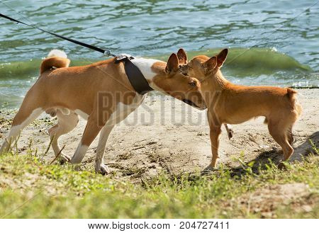 two dogs of red color get acquainted for a walk Bassenji and pygmy pinscher