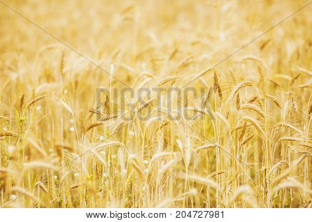 Ripe wheat on the field. Yellow wheat on the field. Summer photo with a background of wheat. Wheat harvest