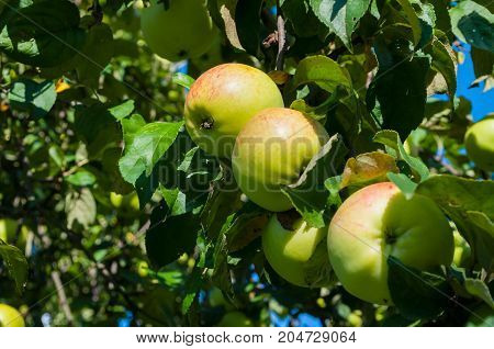 Red and green apples on apple tree branch under the sun. Apple garden with ripe apple fruits on the tree branch. Apple growing in the summer apple garden