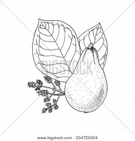 Monochrome Vector Illustration Drawing Of Avocado Persea Americana On White