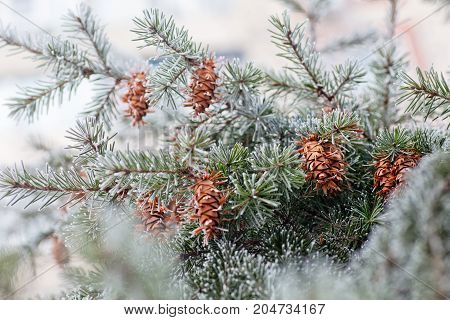 Mature Cone On Branch Of Blue Fir-tree Blue, Green, White, Colorado Blue Spruce, Picea Pungens Cover