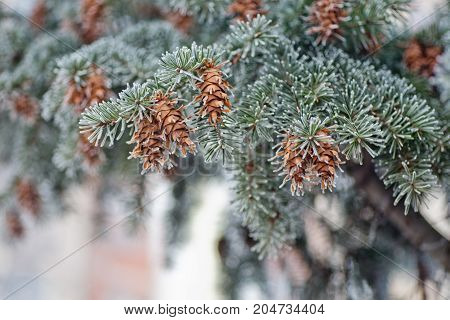 Mature cone on Branch of blue fir-tree blue green white Colorado blue spruce Picea pungens covered with hoarfrost. New Year's Bekraund. Place for a copy-paste.