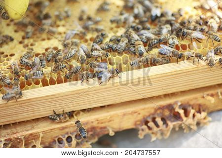 Honeycomb Frame Set Up By Bees, With Lack Of Space For Honey. Self-built Bees Waxed. Bee Family In B