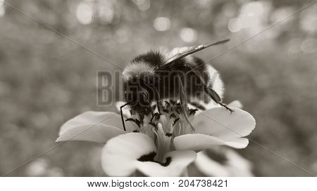 Black and white photography. Bee and flower.
