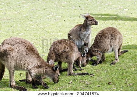 this is a mob of kangaroo-Island kangaroos eating