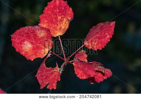 Red Autumn Aspen Leaves