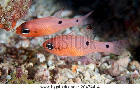 A Pair of Two Spot Cardinalfish