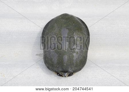 The Turtle Hid In The Shell And Does Not Stick Out Of It. Ordinary River Tortoise Of Temperate Latit