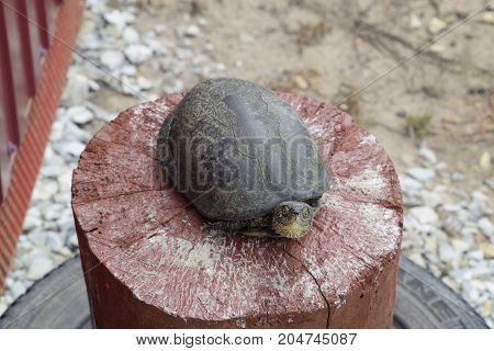 Tortoise On A Wooden Red Stump. Ordinary River Tortoise Of Temperate Latitudes. The Tortoise Is An A