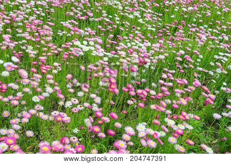 Beautiful blooming green meadow with pink and white flowers at the noon. As a natural flower background