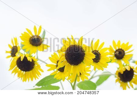 Beautiful sunflowers in a field in summer season