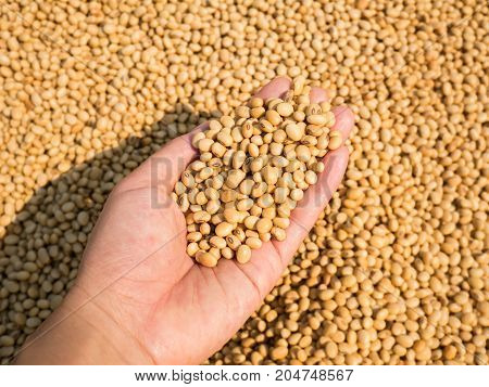 Soybean seed harvest in hand, healthy food