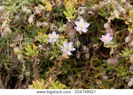 Sea Spurrey, Spergularia Rupicola
