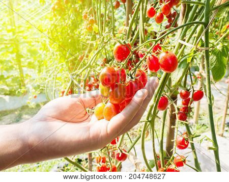 Hand picking ripe tomatoes in organic vegetable farm