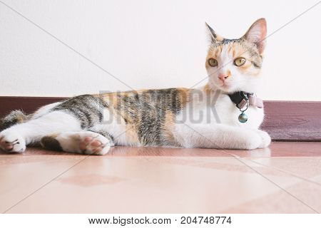 Tricolor cat relaxing on the floor, cute animal and pet
