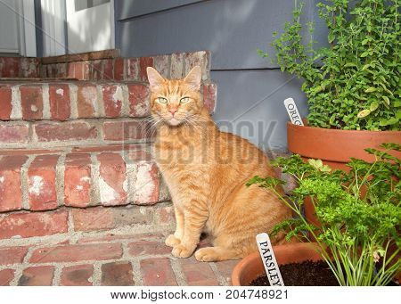 Orange ginger tabby cat sitting on steps of house by door with herb garden in pots. Oregano and Parsley.