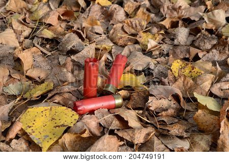fired cartridge cases fired cartridge cases lying in the yellow leaves several fired shell casings several red shot sleeves