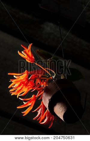 red flower in pot black background (Low-key style)