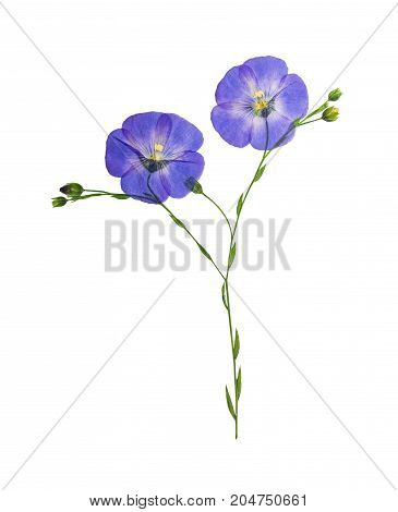 Pressed and dried delicate blue flower flax isolated on white background. For use in scrapbooking pressed floristry or herbarium.