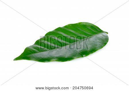 fresh coffee beans leaf on white background