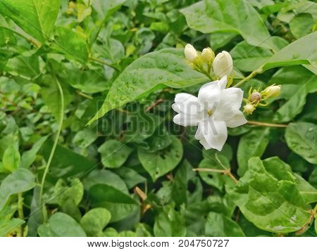Arabian jasmine. A beautiful white flower in the green garden
