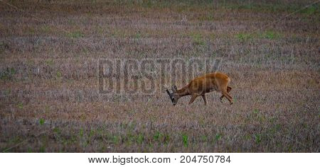 Lone roe deer eating on a colorful field in the evening
