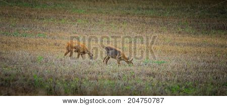 Two roe deers on a sloping field eating