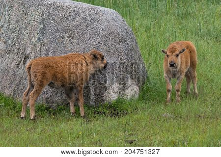 Two bison calves that appear to playing hide and seek behind a boulder.