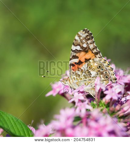 Painted Lady butterfly (Vanessa cardui) with curled proboscis on pink Pentas flowers. Natural green background with copy space.