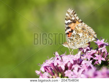 Painted Lady butterfly (Vanessa cardui) feeding on pink Pentas flowers. Natural green background with copy space.