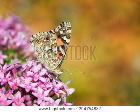 Painted Lady butterfly (Vanessa cardui) feeding on pink Pentas flowers in the fall garden. Copy space.