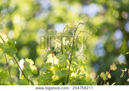 young branch of grapes on the nature
