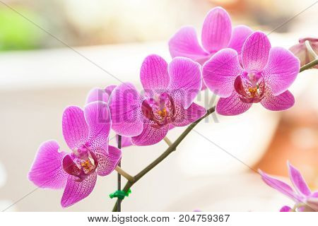 phalaenopsis orchid in garden - stock image