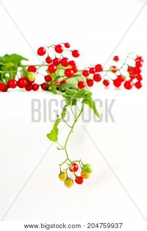 Red Currant In A Garden.