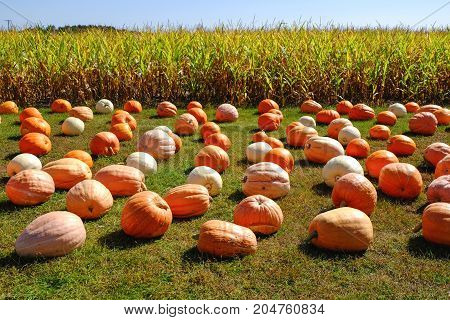 Rows of harvested pumpkins on a grass near corn field