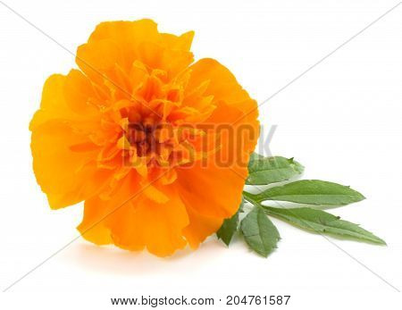 Orange Marigold Flower, Tagetes Erecta, Mexican Marigold, Aztec Marigold, African Marigold Isolated