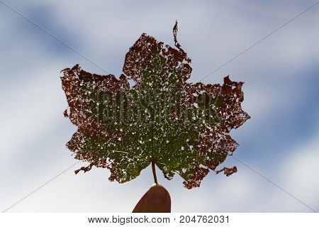 The green and red maple leaf on blue sky background