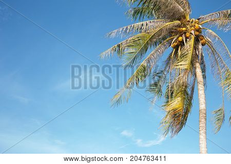 Coconut palm tree with bright blue sky
