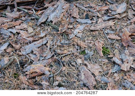the pine bark on the ground in a pine forest. green moss, dry branches