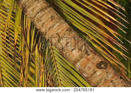 CoCoconut palm trees growing on the coast of Central America