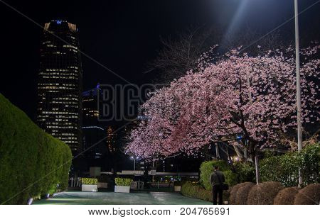 Mystery Garden With Cherry Blossoms At Night In Tokyo. Japan